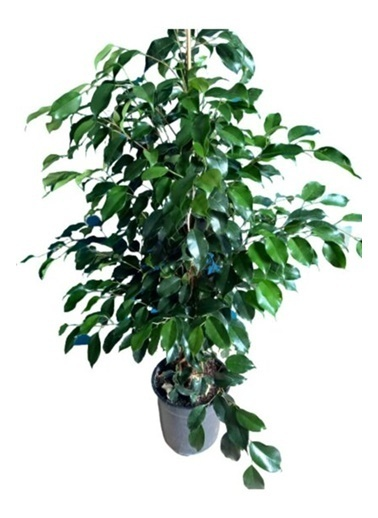 Çiçek Antalya Çiçek Antalya Ficus Benjamin Ortaboy 120 Cm Yeşil